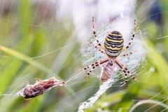 Ragno della vespa con la preda Immagine Stock Libera da Diritti