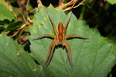 Ragno della zattera (fimbriatus di Dolomedes) Immagine Stock