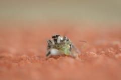 Ragno della zebra Fotografia Stock