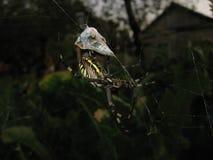 Ragno di Argiopa sul web fotografia stock libera da diritti