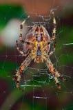 Ragno di caccia del giardino sul suo web Immagine Stock