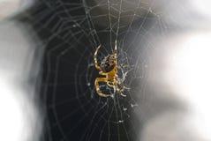 Ragno di giardino Fotografia Stock