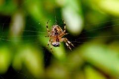 Ragno di giardino che mangia insetto Fotografie Stock Libere da Diritti