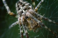 Ragno di giardino comune immagine stock libera da diritti