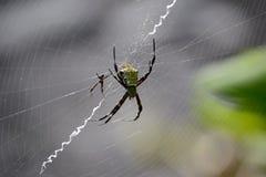 Ragno di giardino di Hawaiin sul web (appensa del Argiope) Fotografie Stock