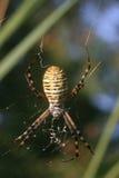 Ragno di giardino legato (trifasciata del Argiope) immagini stock libere da diritti