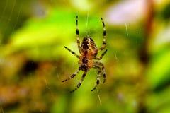 Ragno di giardino nel Web Fotografia Stock Libera da Diritti