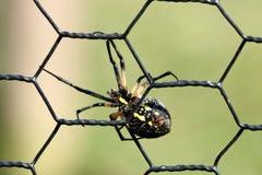 Ragno di giardino nero e giallo Fotografia Stock Libera da Diritti