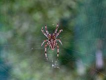 Ragno di giardino su un web che aspetta una preda immagine stock libera da diritti