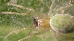 Ragno di Nigma Walckenaeri che mangia mosca archivi video