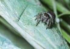 Ragno di salto che si siede su un ragno di salto del primo piano della foglia Immagine Stock
