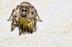 Ragno di salto con il ragno del lince nella bocca Fotografia Stock Libera da Diritti