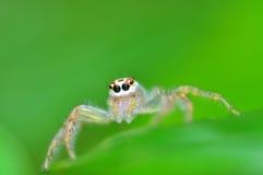 Ragno di salto dalla Tailandia Fotografia Stock