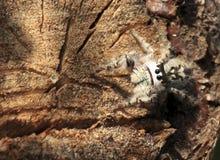 Ragno di salto del baldacchino Fotografie Stock