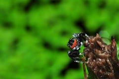 Ragno di salto della Tailandia Immagini Stock