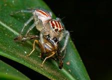Ragno di salto, Salticidae, sulla foglia con la mosca sulle sue zanne, macrofotografia della natura fotografie stock