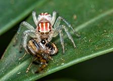 Ragno di salto, Salticidae, sulla foglia con la mosca sulle sue zanne, macrofotografia della natura fotografia stock
