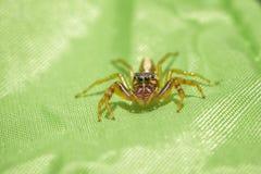 Ragno di salto su tessuto verde Fotografia Stock Libera da Diritti