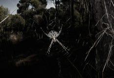 Ragno di specie del Lobata del Argiope sul web Fotografia Stock Libera da Diritti