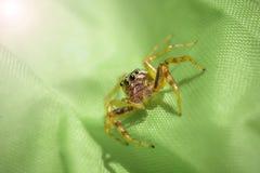 Ragno di Umping su tessuto verde Fotografia Stock Libera da Diritti