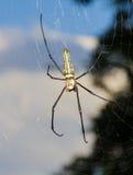 Ragno dorato di globo-Web Fotografia Stock