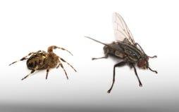 Ragno e mosca - modo a macroistruzione Fotografia Stock