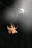 Ragno e Web Immagini Stock Libere da Diritti