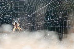 Ragno ed il suo Web fotografia stock libera da diritti