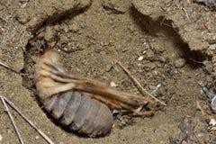Ragno femminile del cammello (solifuge) in tana fotografia stock