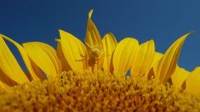 Ragno giallo Fotografie Stock