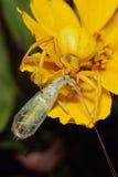 Ragno giallo carico con la preda di Lacewing Immagini Stock