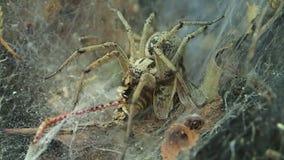 Ragno giallo del ragno dei cunicoli e la sua preda, una locusta archivi video