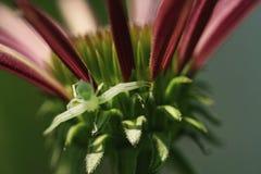 Ragno minuscolo del granchio sull'echinacea Coneflower Immagini Stock Libere da Diritti