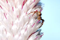 Ragno minuscolo sulla fine di Pampa Plume Celosia Mix su fotografia stock libera da diritti