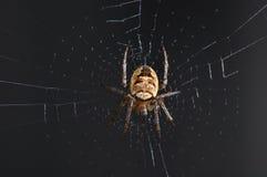 Ragno nel Web Fotografia Stock