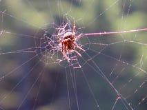 Ragno nel Web Fotografia Stock Libera da Diritti