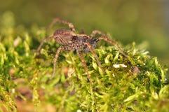 Ragno - Pardosa Fotografie Stock Libere da Diritti