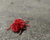 Ragno rosso fotografia stock