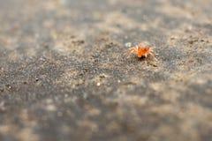 Ragno rosso del bambino Immagini Stock