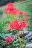 Ragno rosso Lily Line Fotografia Stock