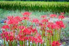 Ragno rosso Lily Patch Immagini Stock