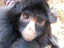 Ragno-scimmia Fotografie Stock