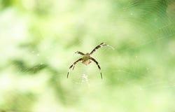 Ragno sottile dorato rosso che si siede sul suo web che aspetta sulla sua preda Fotografia Stock Libera da Diritti