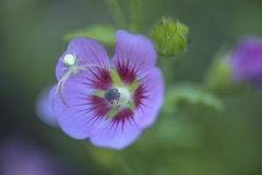 Ragno su un colpo di macro del fiore Fotografie Stock