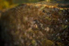 Ragno su un web al sole, nella foresta Immagini Stock