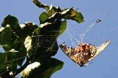 Ragno su una farfalla Immagini Stock Libere da Diritti