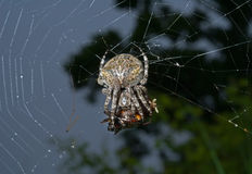 Ragno sul ragno-Web 10 Immagine Stock