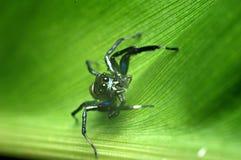 Ragno sulla foglia verde Fotografie Stock Libere da Diritti