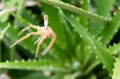 Ragno sulla pianta di vera dell'aloe Fotografia Stock