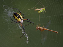 Ragno, tramoggia e libellula nel Web Fotografie Stock Libere da Diritti